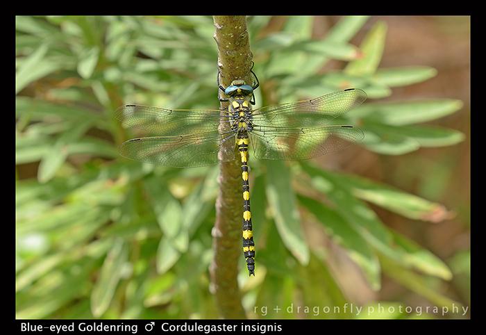 Cordulegaster insignis (m) Blue-eyed Goldenring 8-0414 W 700