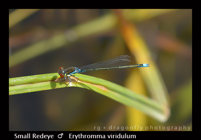 Erythromma viridulum (m) Small Redeye 8-0311-1