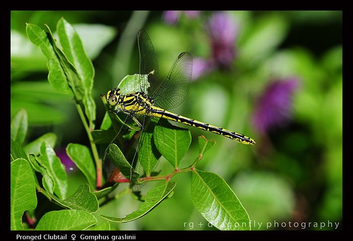 Gomphus graslinii (f) Pronged Clubtail D 5583 A 700