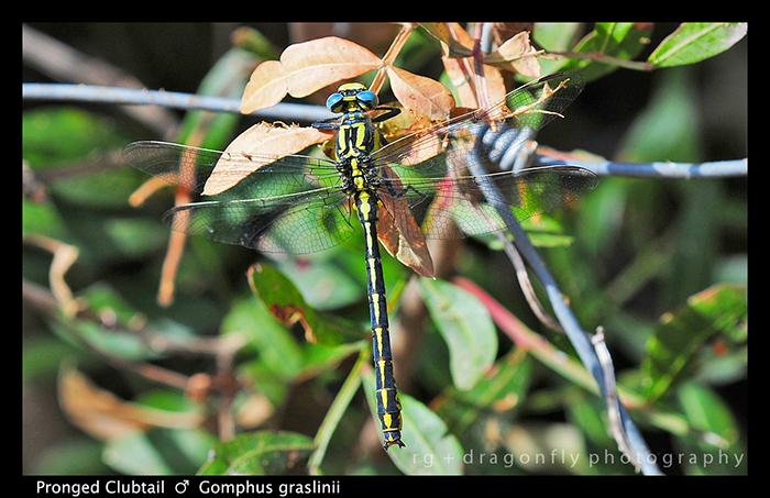 Gomphus graslinii (m) Pronged Clubtail D 5837 W 700