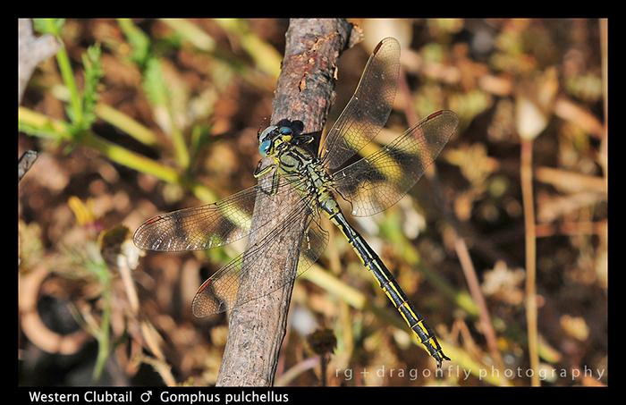 Gomphus pulchellus (m) Western Clubtail D 5530 W 700