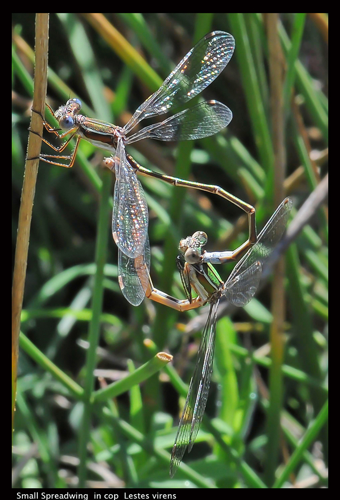 Lestes virens (in cop) Small Spreadwing D3 P9 -1- 700