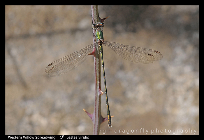 Lestes viridis (m) Western Willow Spreadwing D1 P9 A-1-700