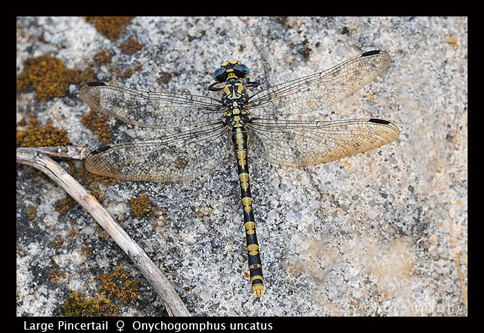 Onychogomphus uncatus (f) Large Pincertail D 5163 CS5 -1 700