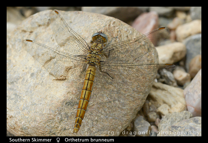 Orthetrum brunneum (f) Southern Skimmer WP 8-3-8348