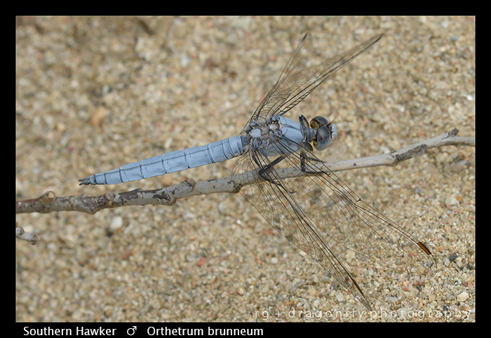 Orthetrum brunneum (m) Southern Skimmer WP 8-3-8355