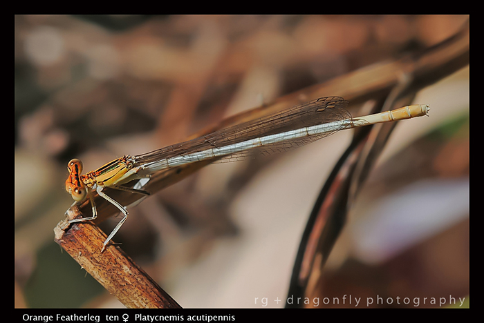 Platycnemis acutipennis (ten f) Orange Featherleg D 5789 A-1-700