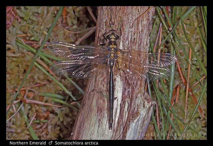 Somatochlora arctica (ten m) Northern Emerald S 615 W-1 700