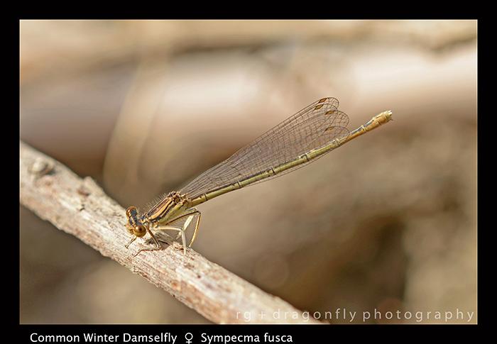 Sympecma fusca (f) Common Winter Damselfly 8-0127-1-700