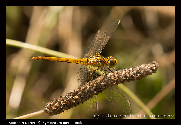 Sympetrum meridionale (f) Southern Darter 8-1827 WP