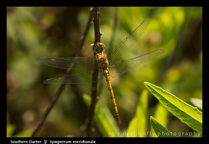 Sympetrum meridionale (f) Southern Darter 8-1845 WP