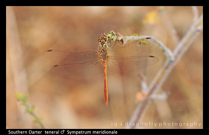 Sympetrum meridionale (ten m) Southern Darter D 5181 W 700
