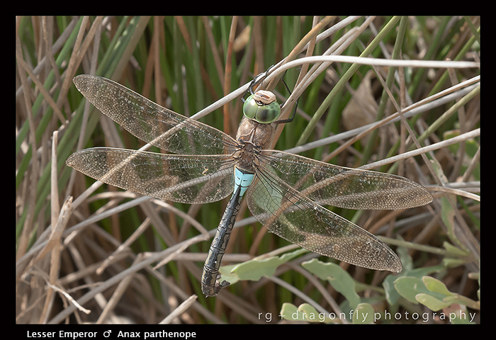 Anax parthenope - m - Lesser Emperor 3-6460 WP