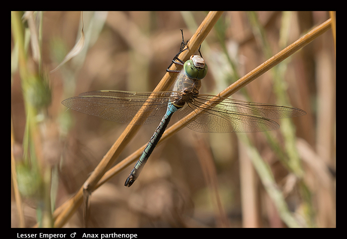 Anax parthenope - m - Lesser Emperor 8-1574 WP