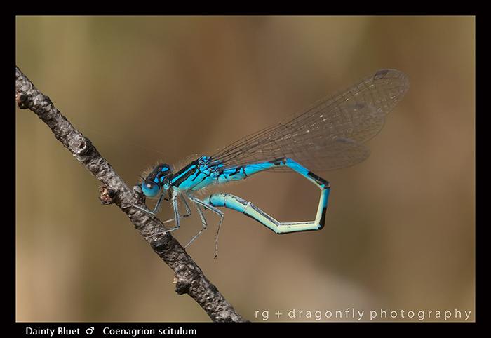 Coenagrion scitulum - m - Dainty Bluet 8-1370 WP