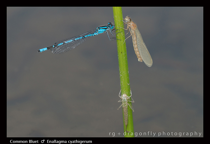 Common Bluet m Enallagma cyathigerum 8-1286 WP jpg