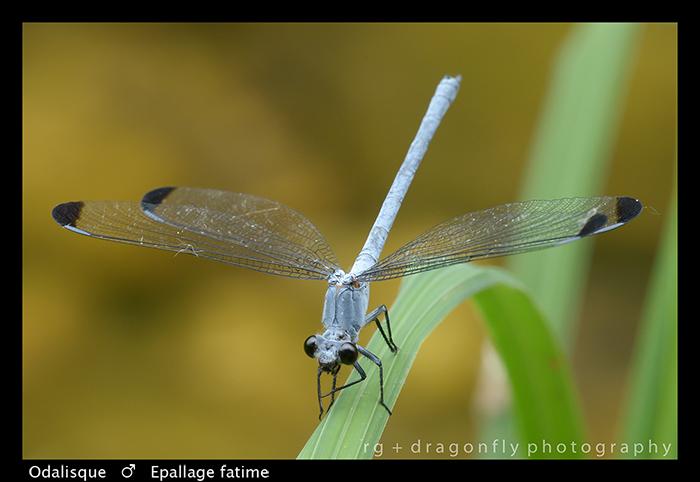 Epallage fatime - m - Odalisque WP 8-3-8314