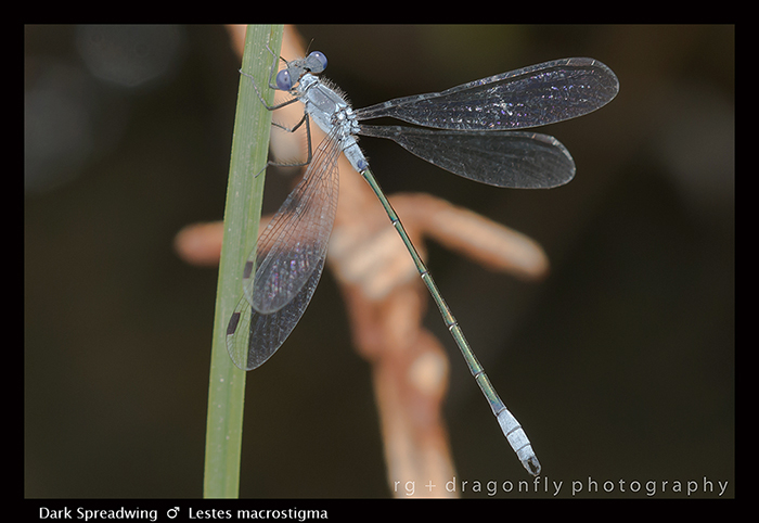 Lestes macrostigma - m - Dark Spreadwing 8-1420 WP