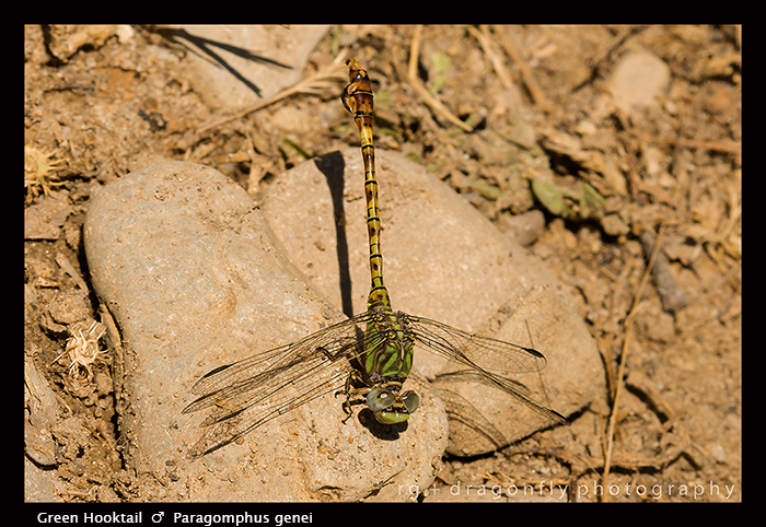 Paragomphus genei - m - Green Hooktail 8-1939 WP
