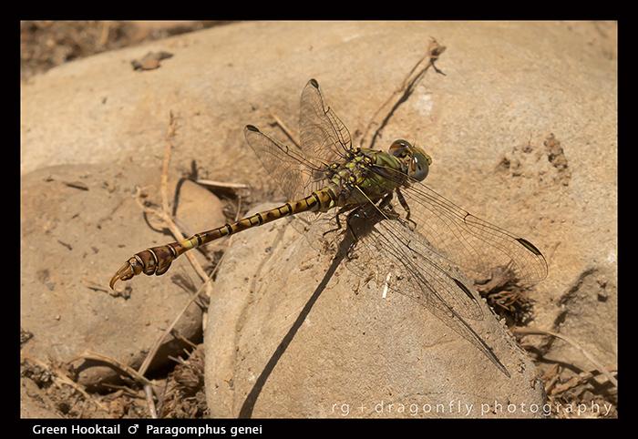 Paragomphus genei - m - Green Hooktail 8-1946 WP