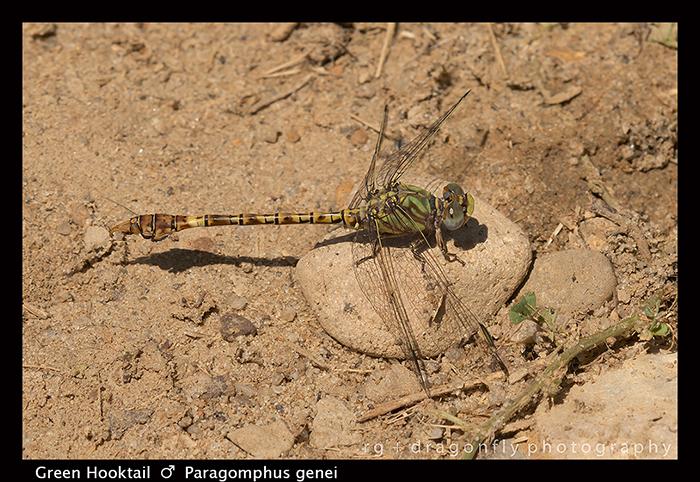 Paragomphus genei - m - Green Hooktail WP