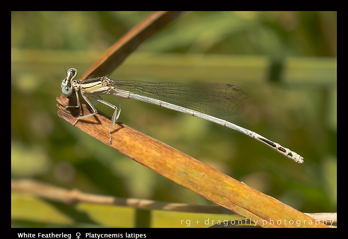 Platycnemis latipes (f) White Featherleg 8-2033 WP