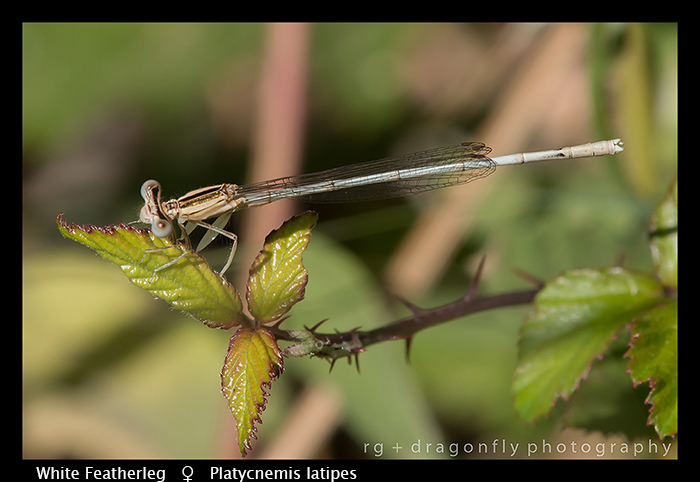 Platycnemis latipes (f) White Featherleg WP 8-3-8014
