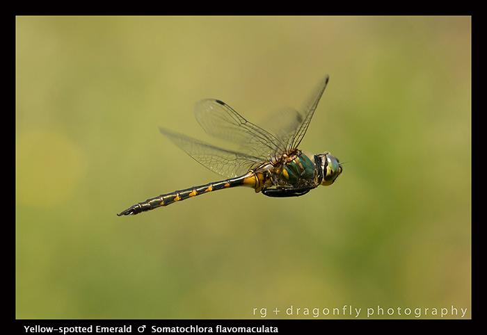 Somatochlora flavomaculata - m - Yellow-spotted Emerald 8-1849 WP
