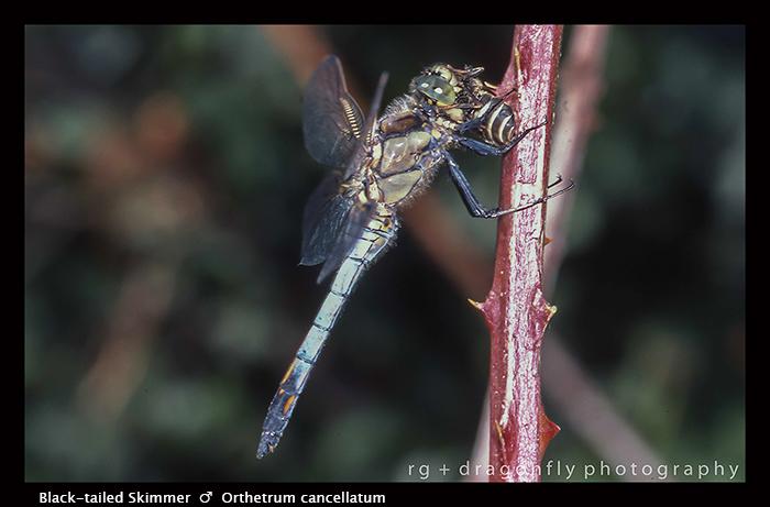 Orthetrum cancellatum (m) Black-tailed Skimmer S 434 CS5 A