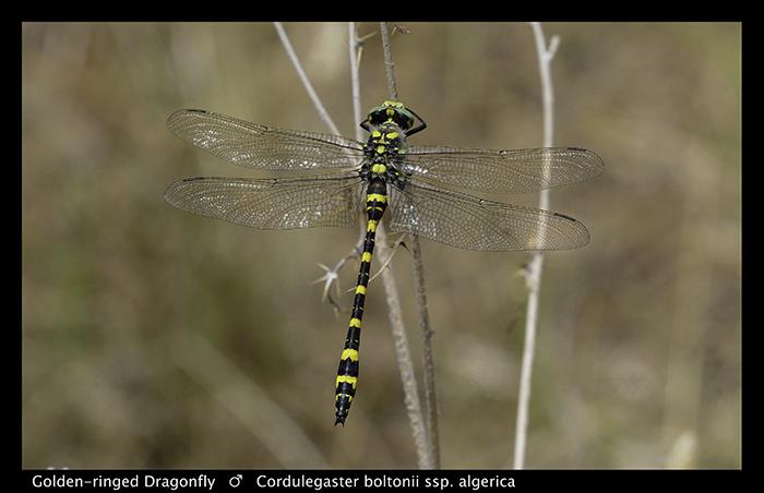 Cordulegaster boltonii ssp algirica (m) Golden-ringed Dragonfly A