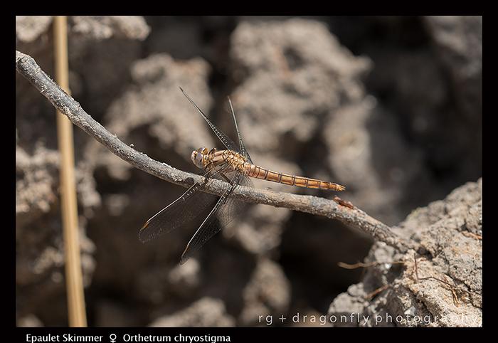 Orthetrum chrysostigma (f) Epaulet Skimmer 8-0885 700