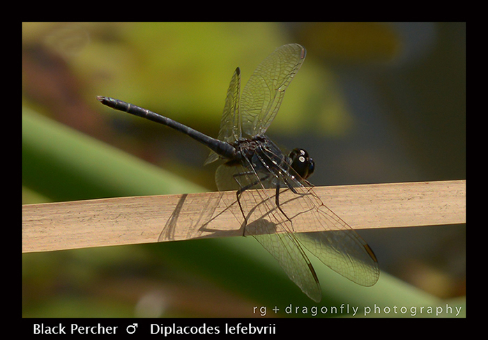 Black Percher (m) Diplacodes lefebvrii 8-2938