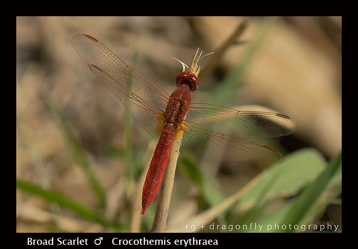 Broad Scarlet (m) Crocothemis erythraea 8-2776