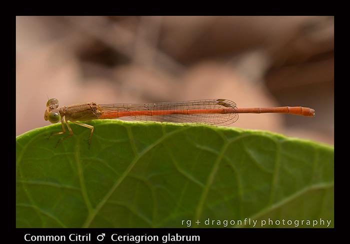 Common Citril (m) Ceriagrion glabrum 8-2973