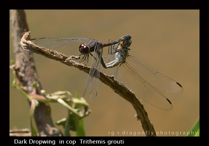 Dark Dropwing ( in cop ) Trithemis grouti 8-3071