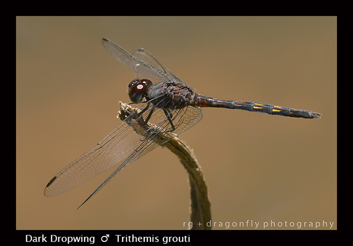 Dark Dropwing (m) Trithemis grouti 8-3076
