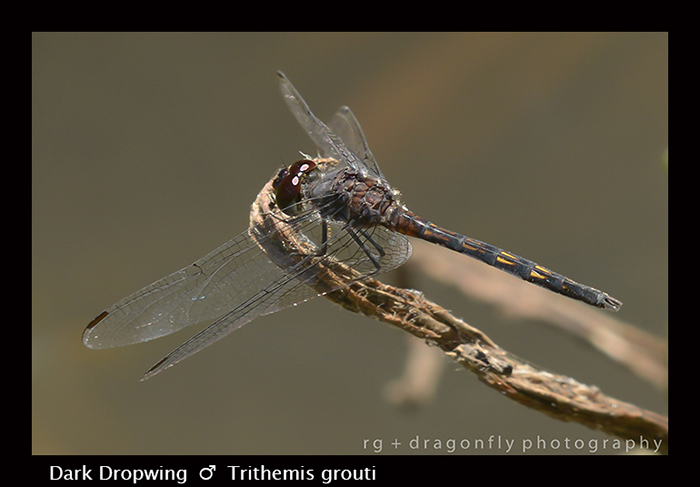 Dark Dropwing (m) Trithemis grouti 8-3078
