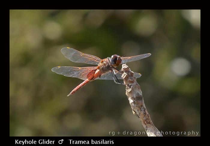 Keyhole Glider (m) Tramea basilaris 8-3048