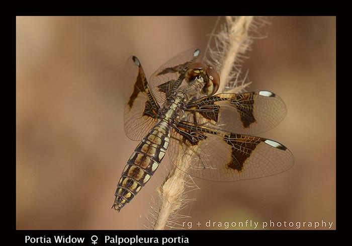 Portia Widow (f) Palpopleura portia 8-2743