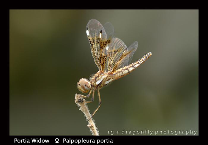 Portia Widow (f) Palpopleura portia 8-2910