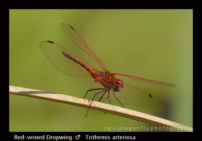 Red-veined Dropwing (m) Trithemis arteriosa 8-2951