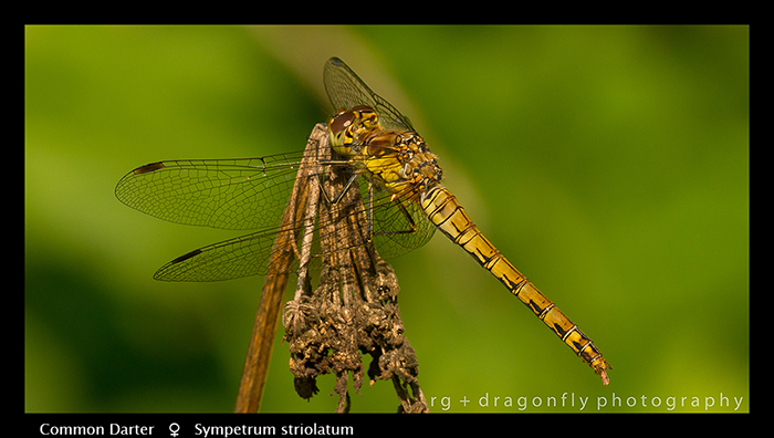Sympetrum striolatum (f) Common Darter 8-3502 W