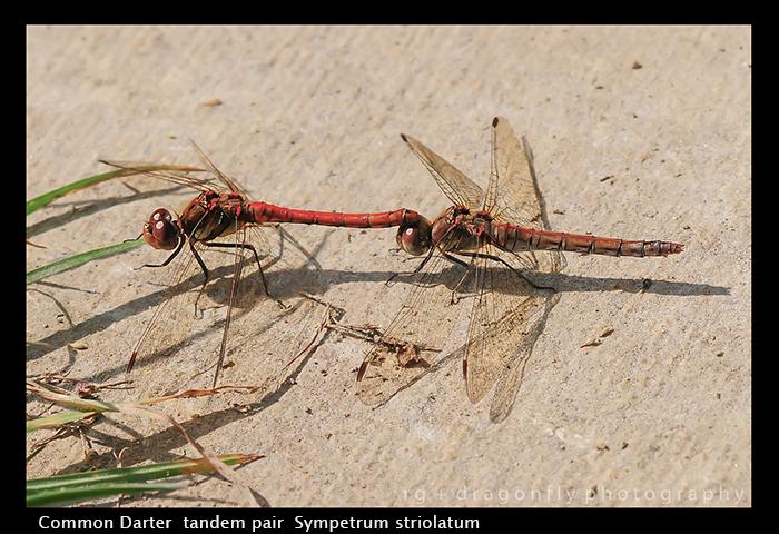 Sympetrum striolatum (tandem pair) Common Darter