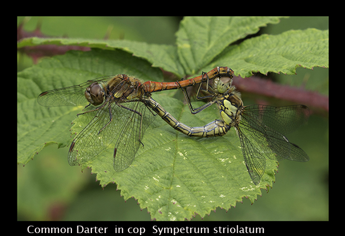 Sympetrum striolatum in cop Common Darter 8 W-3531