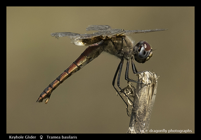 Keyhole Glider (f) Tramea basilaris 3870 Web