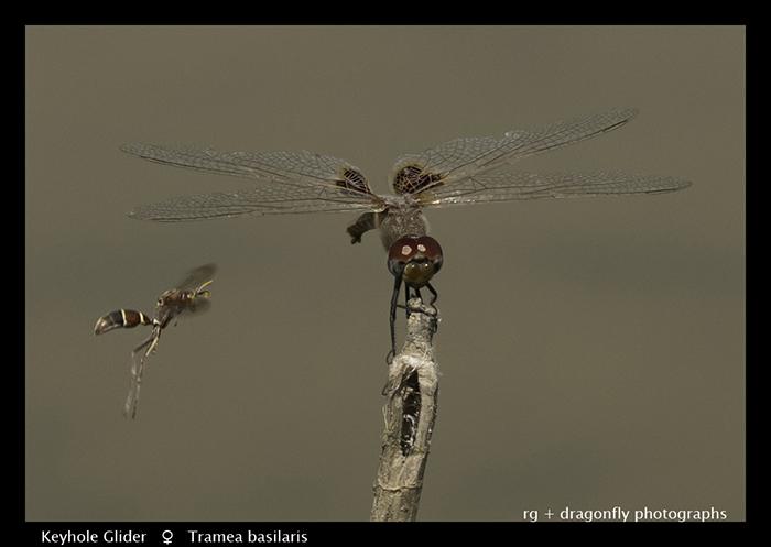 Keyhole Glider (f) Tramea basilaris 3880 Web