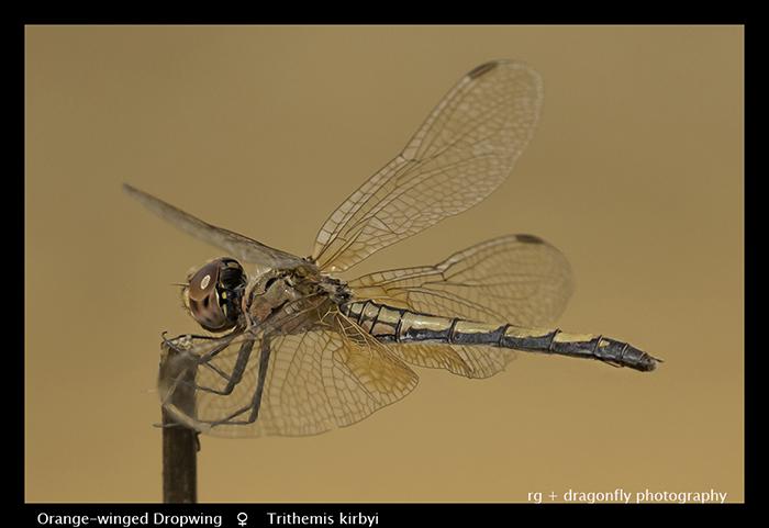 Orange-winged-Dropwing-f-Trithemis-kirbyi