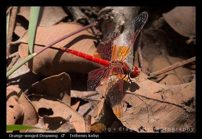 Orange-winged Dropwing (m) Trithemis kirbyi