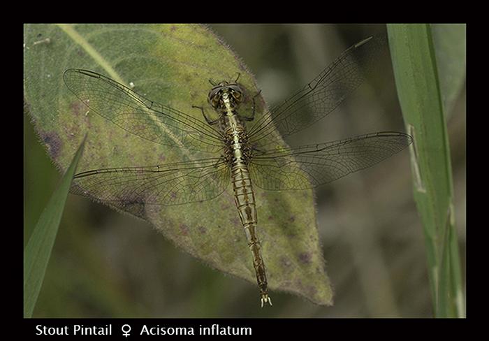 Stout Pintail (f) Acisoma inflatum 8 -3107 Web