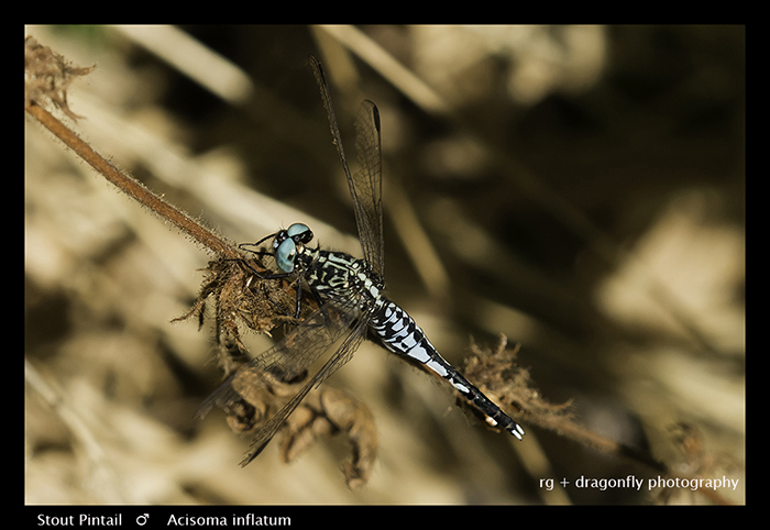 Stout Pintail (m) Acisoma inflatum 3701 Web
